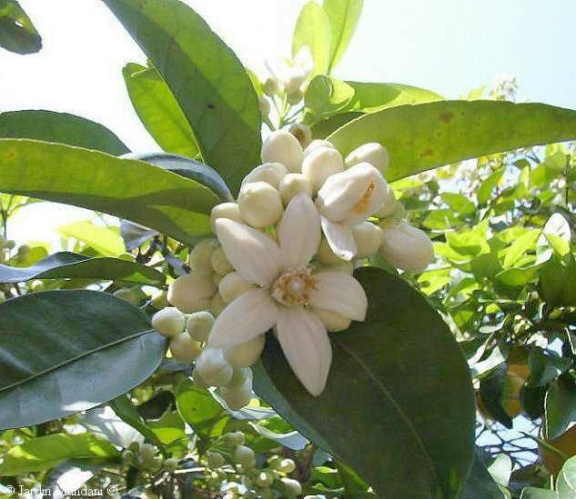 Бергамот - это плод гибридного растения