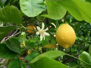 Плод бергамота чем-то похож на лимон