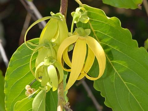 Растение иланг-иланг