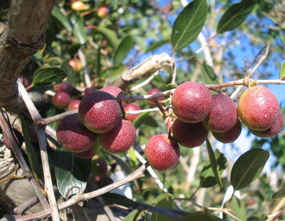 Плоды кустарника жожоба